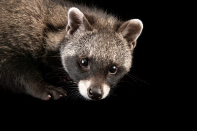 Photo: A juvenile African civet (Civettictis civetta australis) named 'Honda', age eight weeks, at Zooville USA near Plant City, Florida.