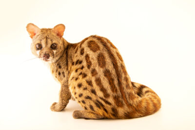 Photo: A large-spotted genet (Genetta maculata mossambica) named 'Zulu', at Zooville USA near Plant City, Florida.