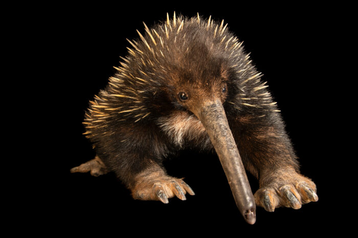 Photo: A critically endangered Western long-beaked echidna (Zaglossus bruijnii) at Batu Secret Zoo, Indonesia.