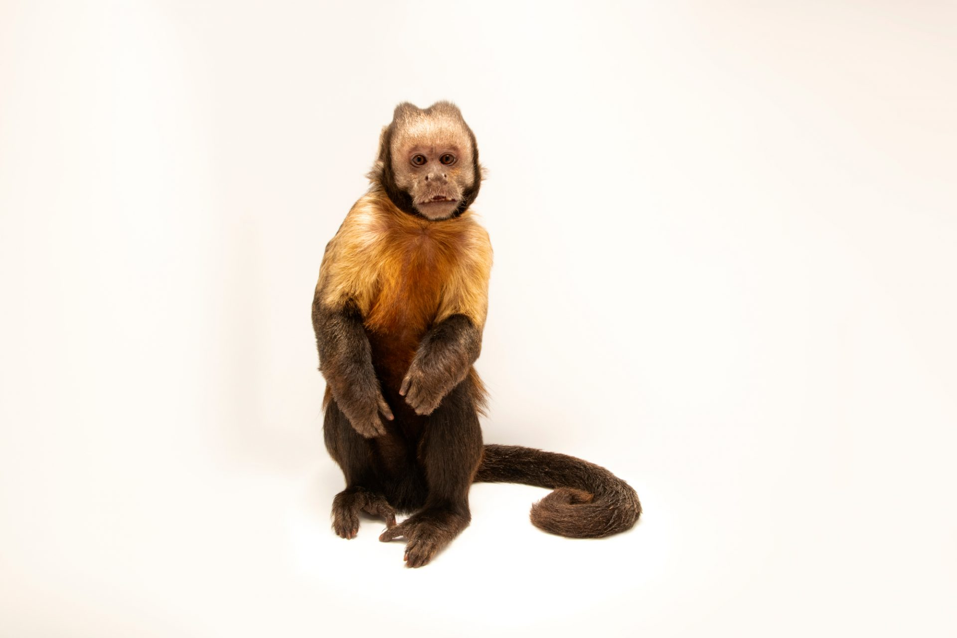 Photo: Dracula, a critically endangered Golden-bellied capuchin (Cebus xanthosternos) at the Lisbon Zoo