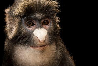 Photo: Black-cheeked white-nosed monkey (Cercopithecus ascanius ascanius) at Lisbon Zoo