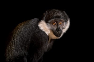 Photo: A female L'Hoest's monkey (Allochrocebus lhoesti) at Parco Natura Viva.