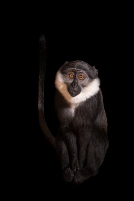 Photo: A female L'Hoest's monkey (Cercopithicus lhoesti) at Parco Natura Viva.