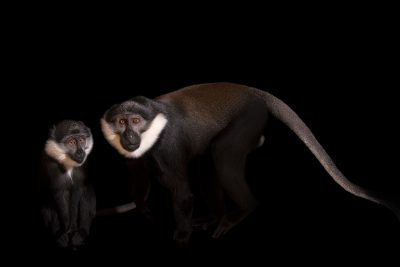 Photo: A male and female L'Hoest's monkey (Allochrocebus lhoesti) at Parco Natura Viva.