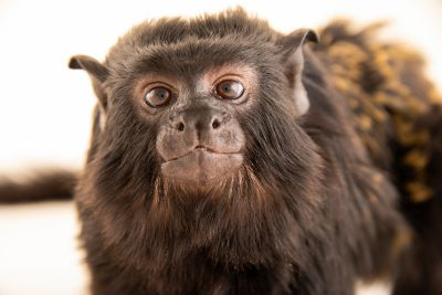 Photo: Red-handed tamarin (Saguinus midas) at the Dallas World Aquarium.