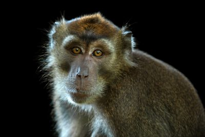 Photo: An orphaned Philippine long-tailed macaque (Macaca fascicularis philippensis) on Mindoro Island in the Philippines.