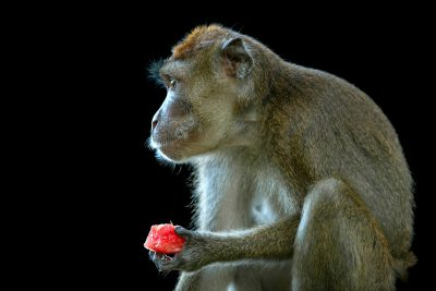 Photo: An orphaned Philippine long-tailed macaque (Macaca fascicularis philippensis) eats watermelon on Mindoro Island in the Philippines.