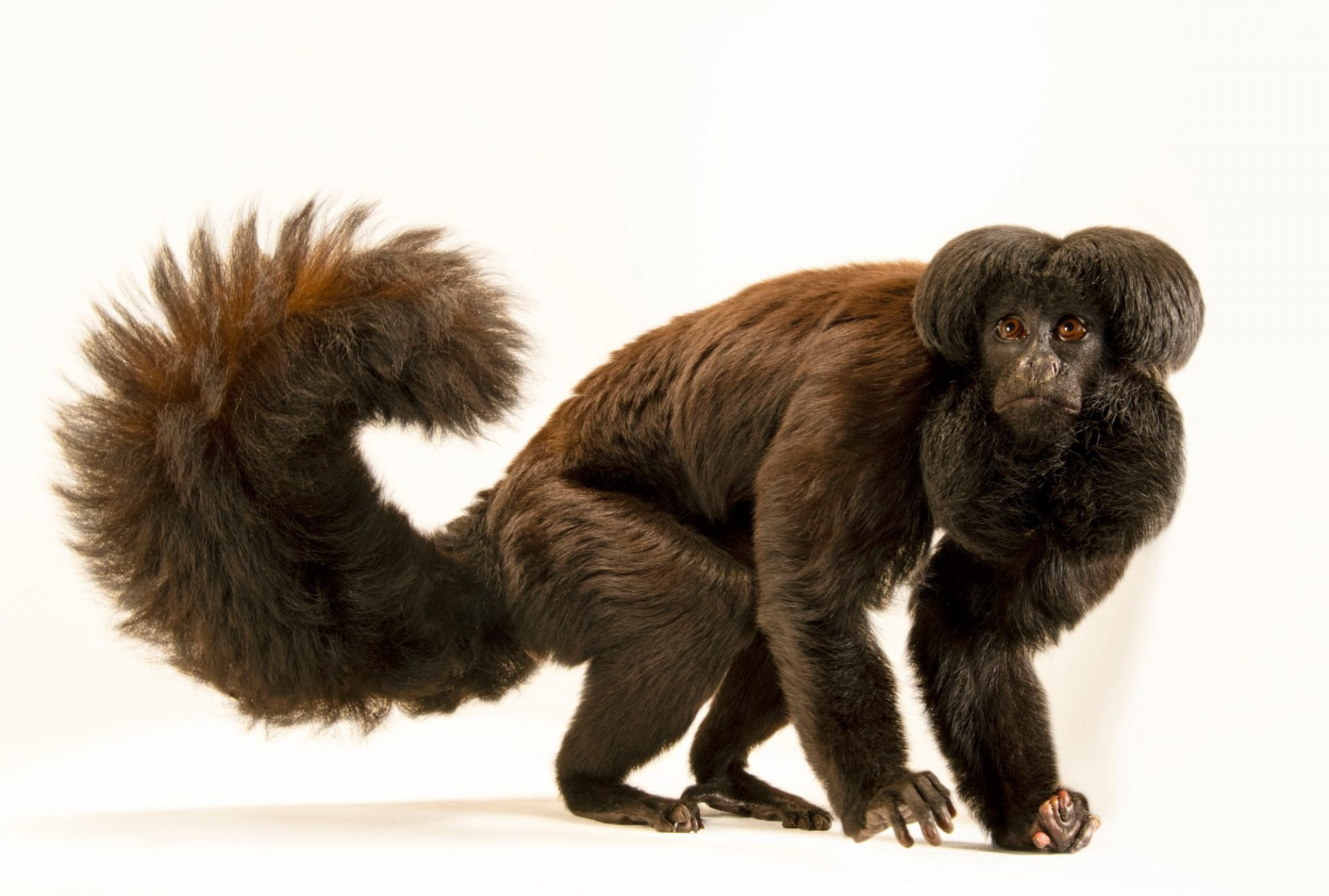 Photo: A critically endangered back bearded saki (Chiropotes satanas) at Zoo Brasilia.