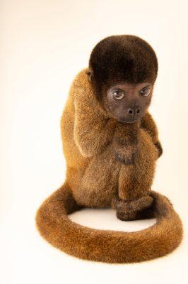 Photo: An endangered Peruvian woolly monkey (Lagothrix cana) at Cetas-IBAMA, a wildlife rehab center in Manaus, Brazil.