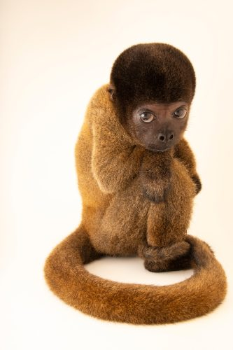 Photo: An endangered Peruvian woolly monkey (Lagothrix cana) at Cetas-IBAMA, a wildlife rehab center in Manaus, Brazil.