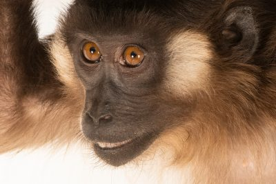 Photo: A Siberut macaque (Macaca siberu) at Taman Safari in Bogor, West Java, Indonesia.