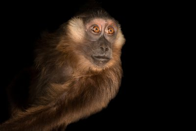 Photo: A Siberut macaque (Macaca siberu) at Taman Safari in Bogor, West Java, Indonesia.