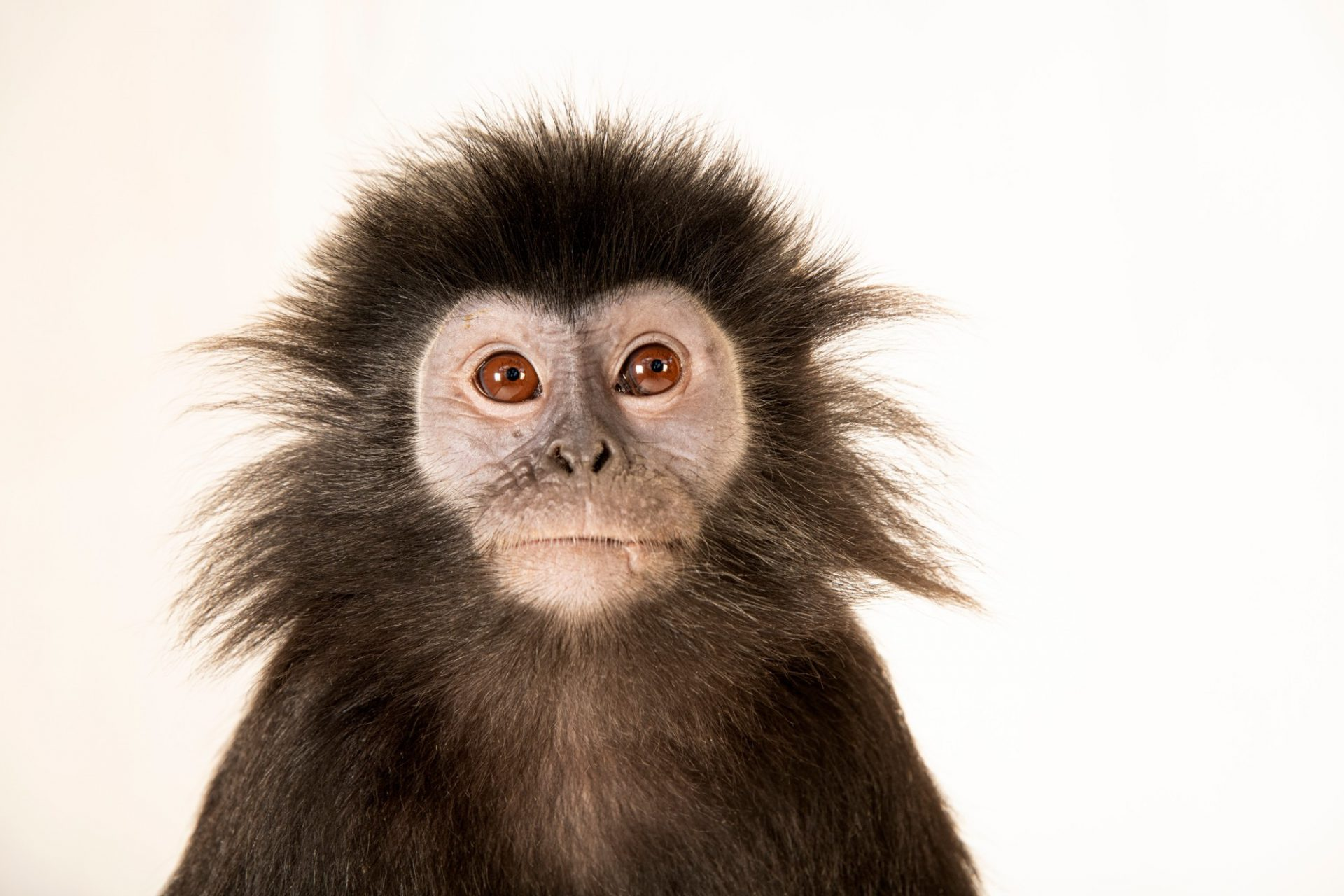 Photo: A Western Javan langur (Trachypithecus auratus mauritius) at Taman Safari in Bogor, West Java, Indonesia.