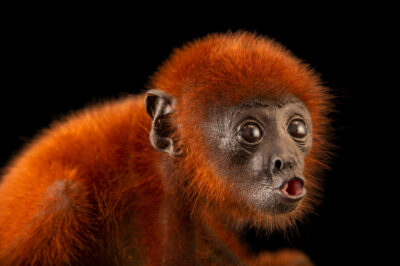 Photo: A two-month-old Venezuelan red howler monkey (Alouatta seniculus juara) at Cetas-IBAMA, a wildlife rehab center in Manaus, Brazil.