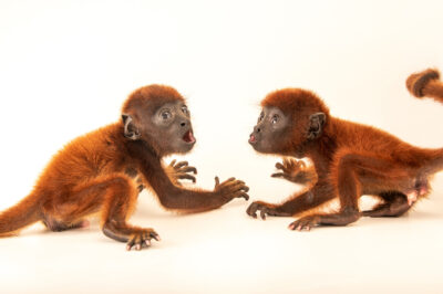 Photo: Two-month-old Venezuelan red howler monkeys (Alouatta seniculus juara) at Cetas-IBAMA, a wildlife rehab center in Manaus, Brazil.