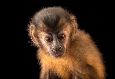 Photo: A juvenile large-headed capuchin monkey (Sapajus macrocephalus) from the Coari area of Amazona, Brazil.