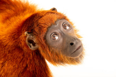 Photo: A female Venezuelan red howler monkey (Alouatta seniculus juara) at Mantenedor da Fauna Silvestre Cariuá.