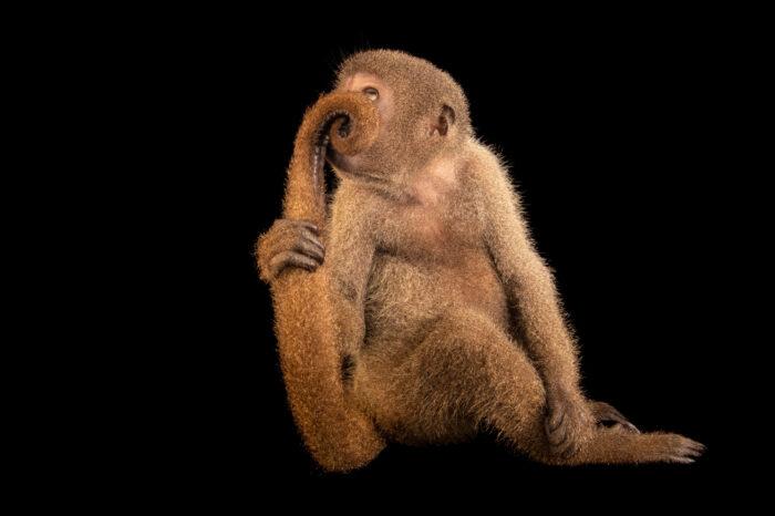 Photo: An endangered gray woolly monkey (Lagothrix cana) at Mantenedor da Fauna Silvestre Cariuá.