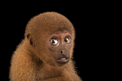 Photo: An endangered gray woolly monkey (Lagothrix cana) at Mantenedor da Fauna Silvestre Cariuá.