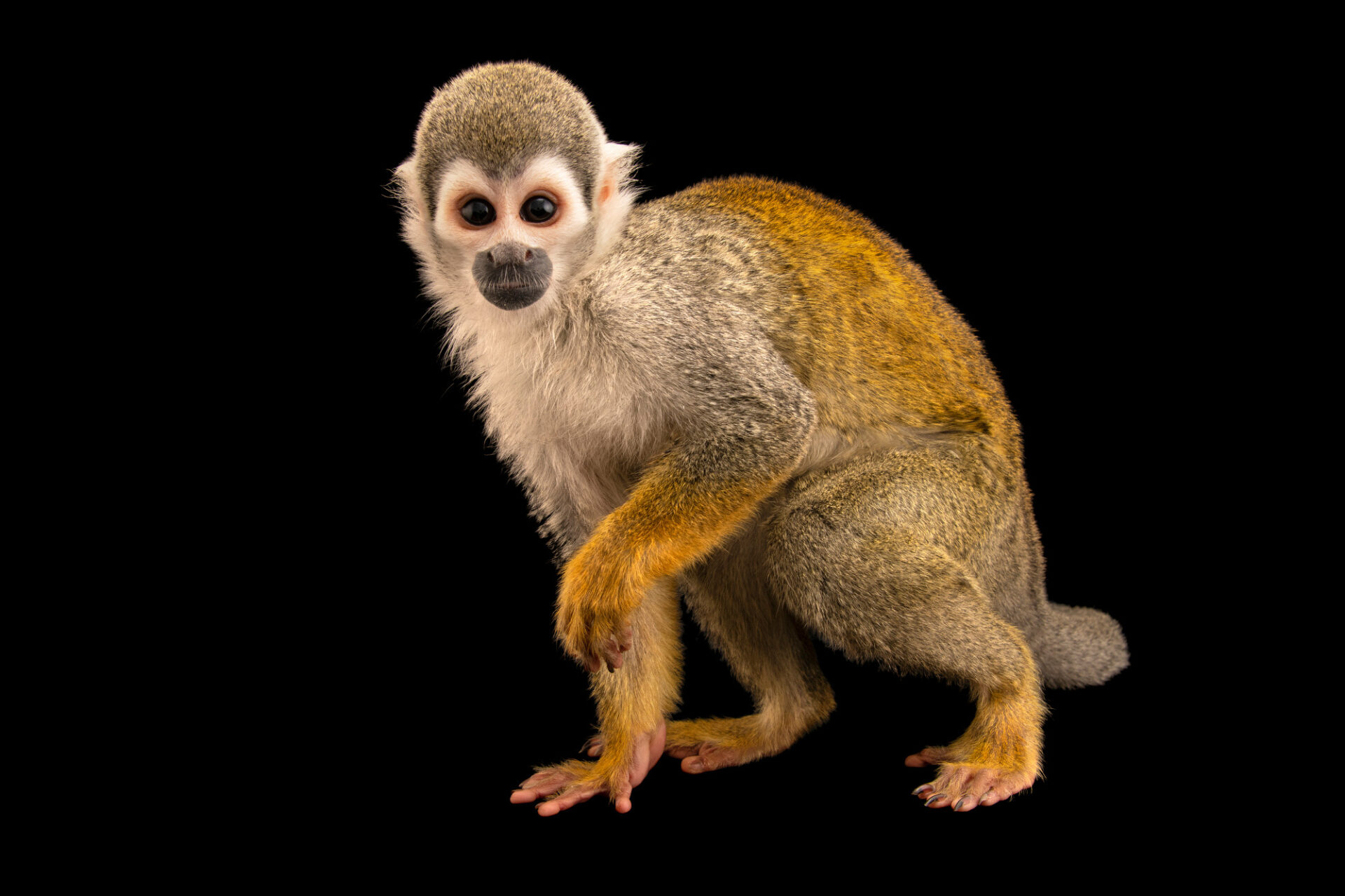 Photo: An Ecuadorian squirrel monkey (Saimiri cassiquiarensis) at Zoologico de Quito.