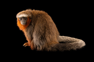 Photo: An adult, male white-tailed titi (Callicebus discolor) at Zoologico de Quito.