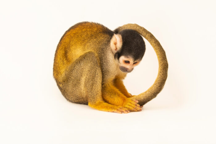 Photo: A bare-eared squirrel monkey (Saimiri ustus) at BioParque do Rio.