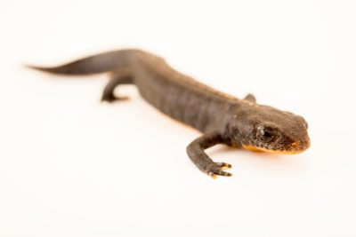 Photo: Alpine newt (Mesotriton alpestris) at Wroclaw Zoo.