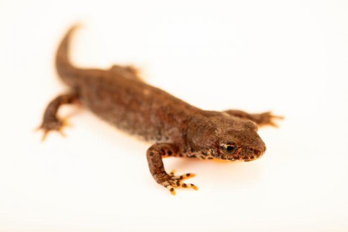 Photo: Smooth newt (Triturus vulgaris) at Wroclaw Zoo.