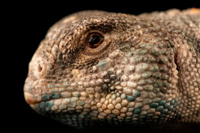 Photo: Omani spiny-tailed lizard (Uromastyx thomasi) at Wroclaw Zoo. This species is listed as vulnerable by the IUCN.