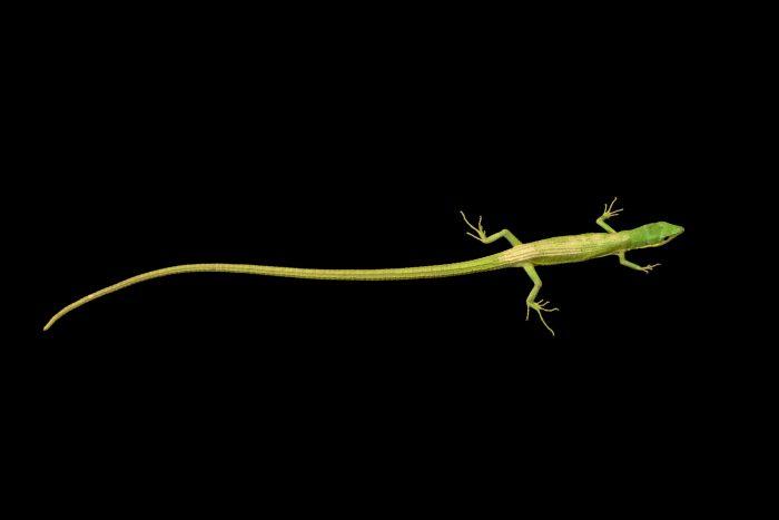 Photo: Green grass lizard (Takydromus smaragdinus) at Wroclaw Zoo.