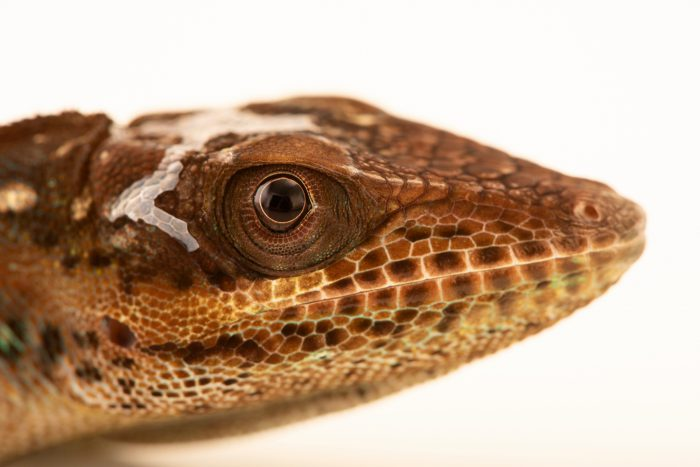 Photo: Holguin anole (Anolis noblei) at Wroclaw Zoo.