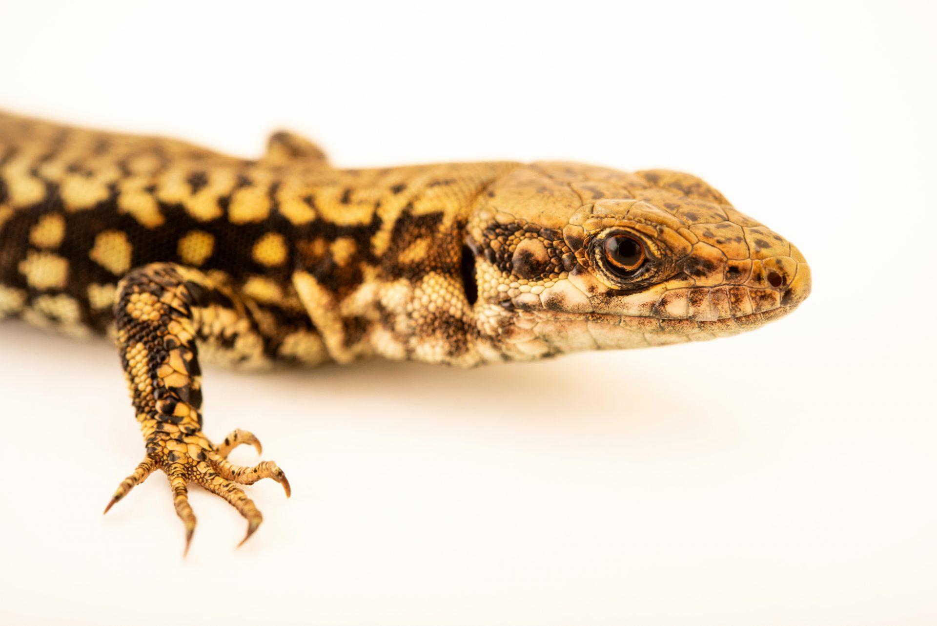 Photo: Common wall lizard (Podarcis muralis) at Wroclaw Zoo.