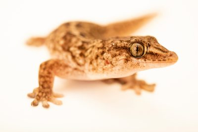 Delalande's gecko (Tarentola delalandii) at Wroclaw Zoo.