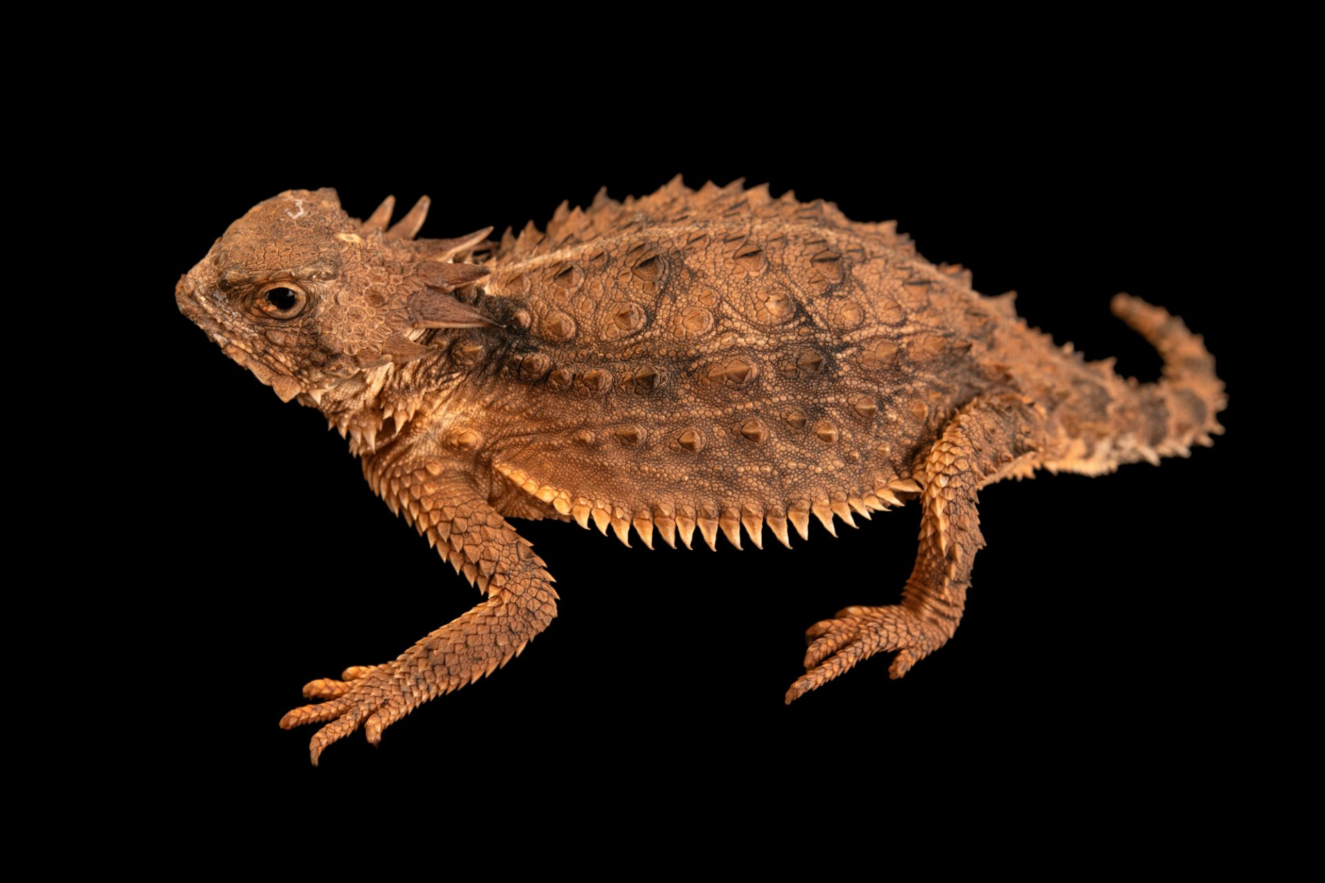Photo: Regal horned lizard (Phrynosoma solare) at the Singapore Zoo.