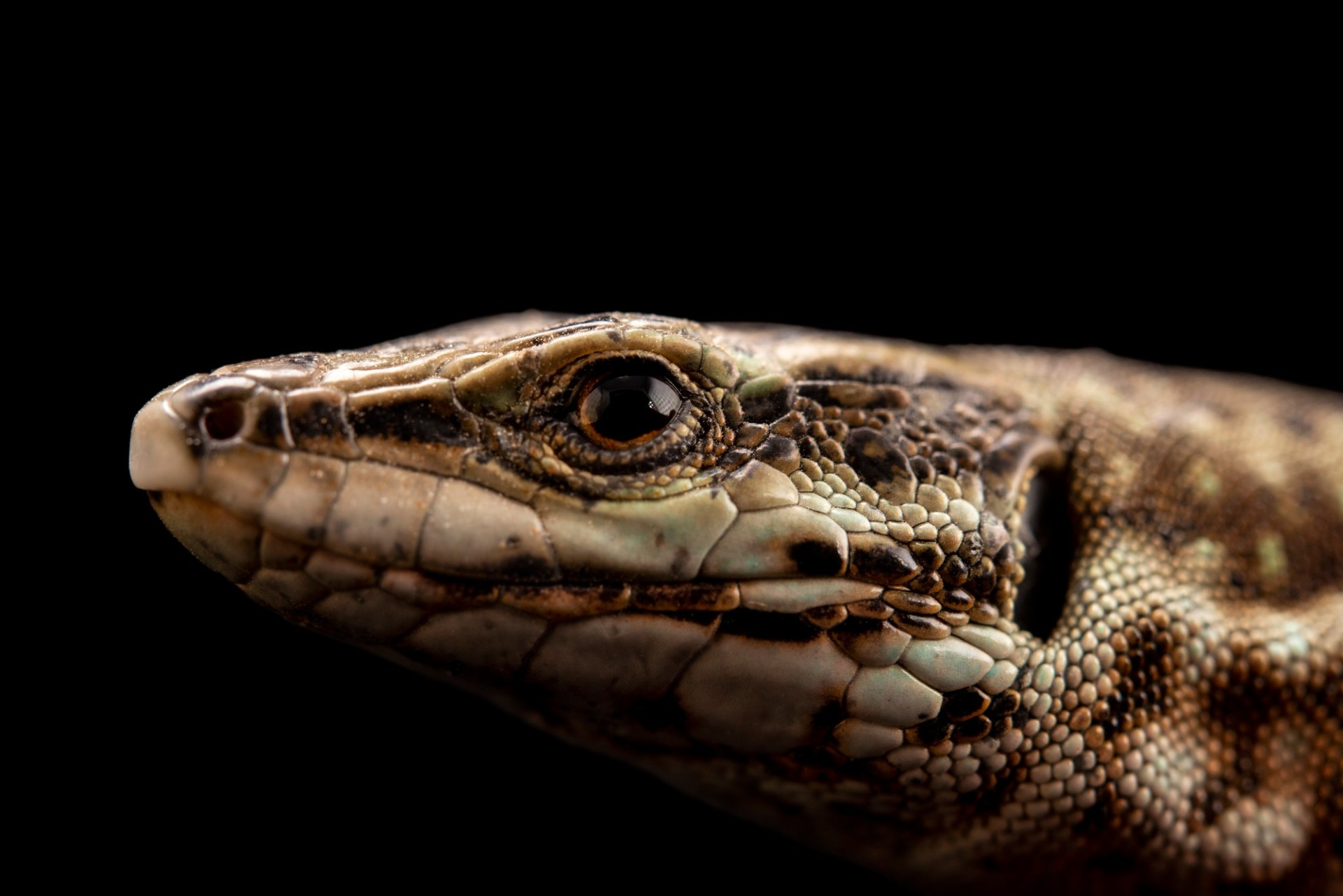 Photo: A critically endangered aeolian wall lizard (Podarcis raffonei) at the Rome Zoo.