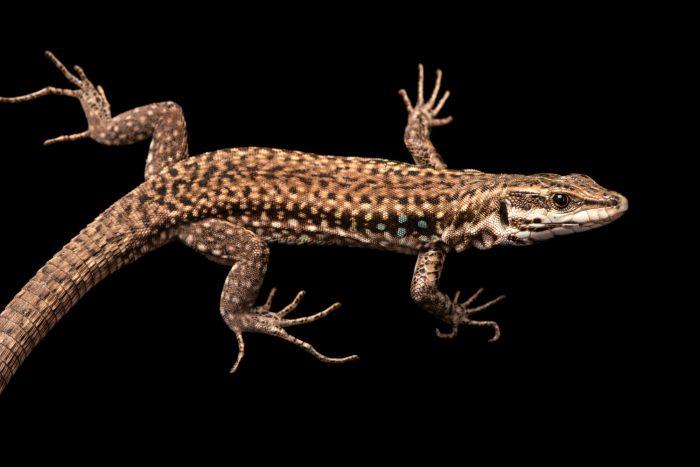 Photo: A critically endangered aeolian wall lizard (Podarcis raffonei) at the Rome Zoo.