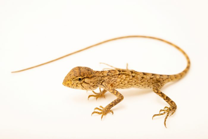 Photo: A lizard (Calotes sp. nov) at the Angkor Centre for Conservation of Biodiversity (ACCB) in Siem Reap, Cambodia.