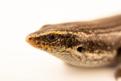 Photo: Canary cylindrical skink (Chalcides viridanus) at Wroclaw Zoo.