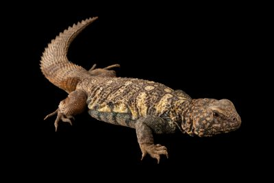Photo: A south Arabian spiny-tailed lizard (Uromastyx yemenensis) at the Denver Zoo.