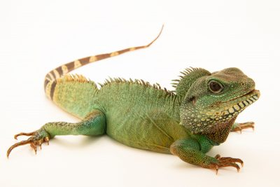 Photo: Chinese water dragon (Physignathus cocincinus) at the Lincoln Children's Zoo.