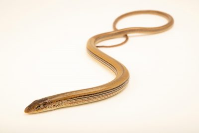 Photo: An Eastern slender glass lizard (Ophisaurus attenuatus longicaudus) at the Auburn University Natural History Museum.
