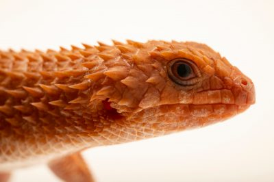 Photo: An Eastern Pilbara spiny-tailed skink (Egernia epsisolus) at the San Antonio Zoo.