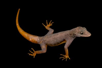 Photo: An endangered psychedelic rock gecko (Cnemaspis psychedelica) at the San Antonio Zoo.