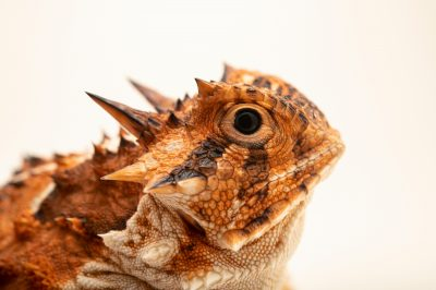 Photo: A Texas horned lizard (Phrynosoma cornutum) at the San Antonio Zoo. The orange coloration helps it blend into the rocky outcroppings and soil that it inhabits.