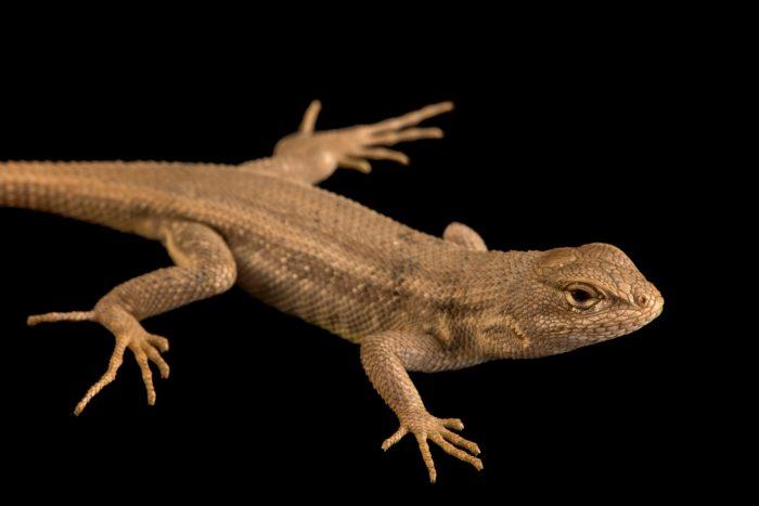 Dunes sagebrush lizard (Sceloporus arenicolus) at the Albuquerque BioPark Aquarium.
