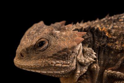 Mountain short-horned lizard (Phrynosoma douglasii hernandesi) at the Albuquerque BioPark Aquarium.