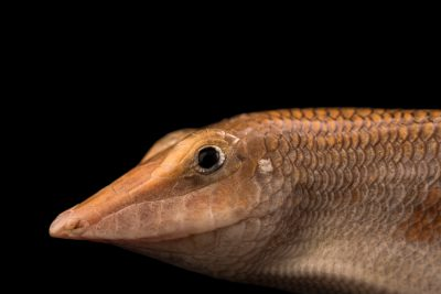 Photo: Eastern skink (Scincus mitranus) at the at the Albuquerque BioPark Aquarium.