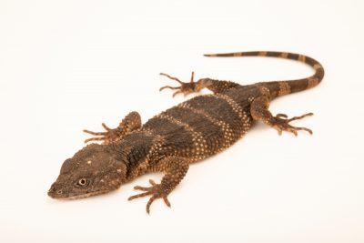 Photo: Mendoza's knob-scaled lizard (Xenosaurus mendozai) at the private collection in San Antonio.