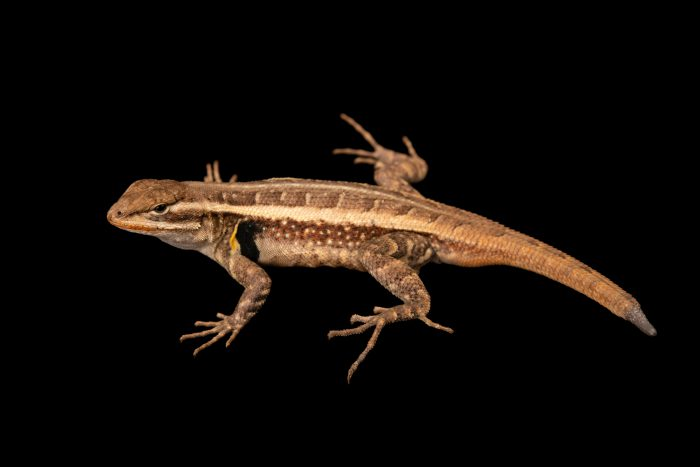 Photo: Rose bellied lizard (Sceloporus variabilis) collected from the wild near Rio Medina, TX, on the Rafter O Ranch.