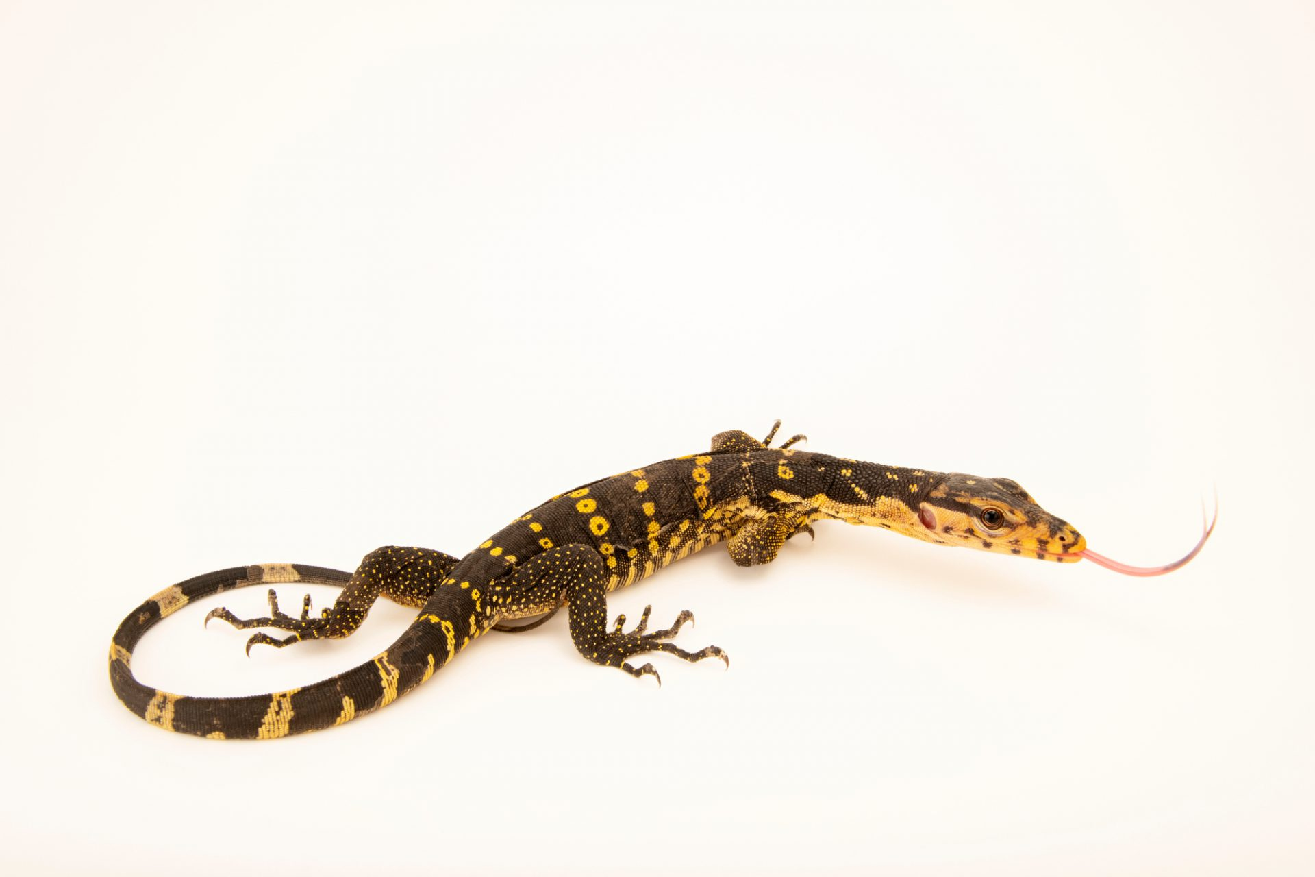 Photo: Samar water monitor (Varanus samarensis) from the private collection in San Antonio.